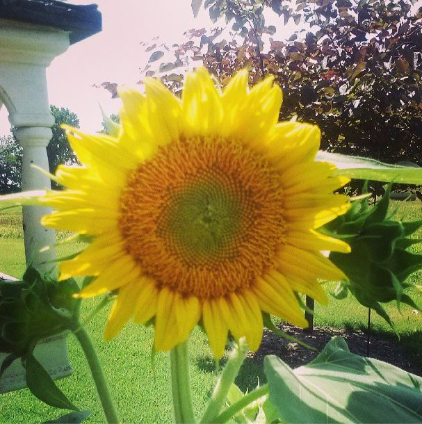 Here Comes the Sun Country Sunflower