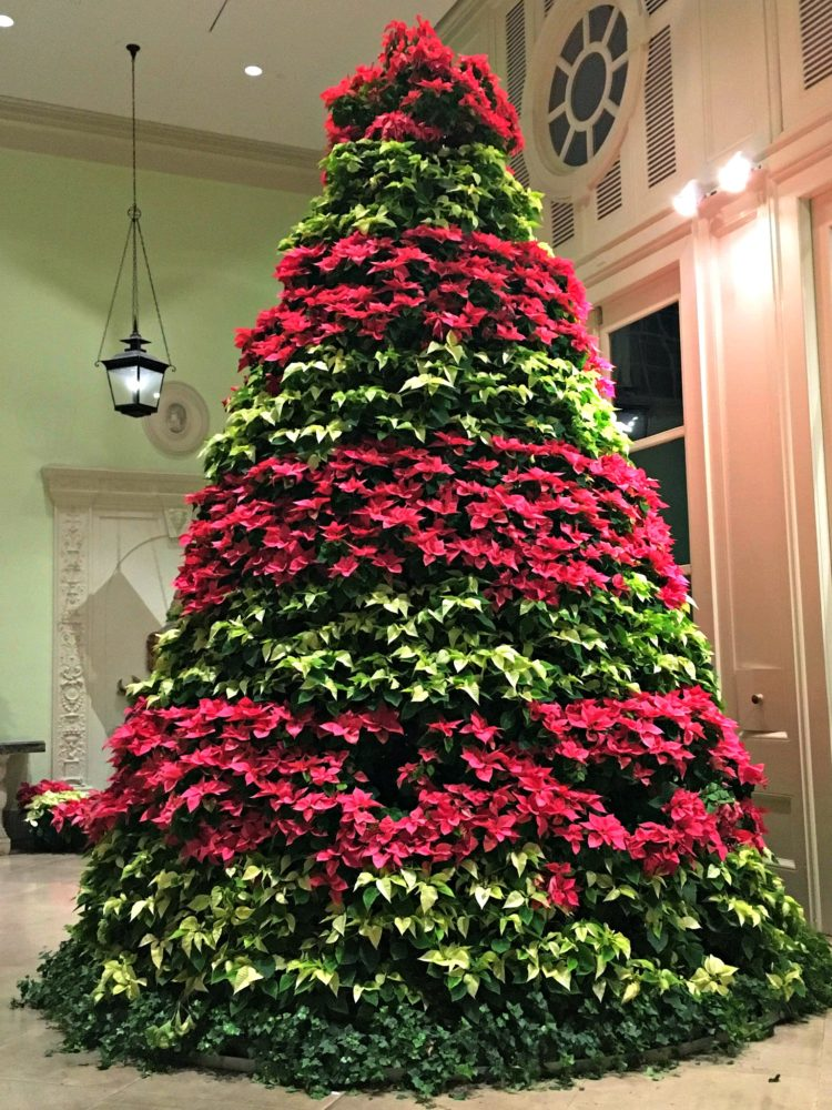 cheekwood-poinsettia-tree